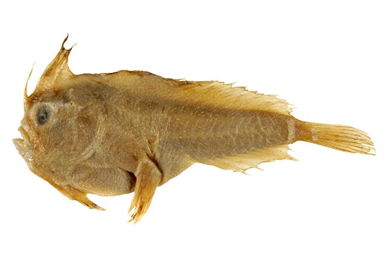 Sympterichthys unipennis 1
