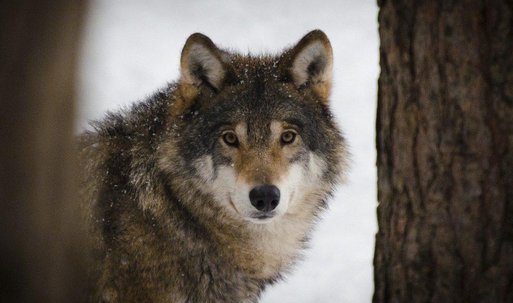 Idaho bill kill wolves