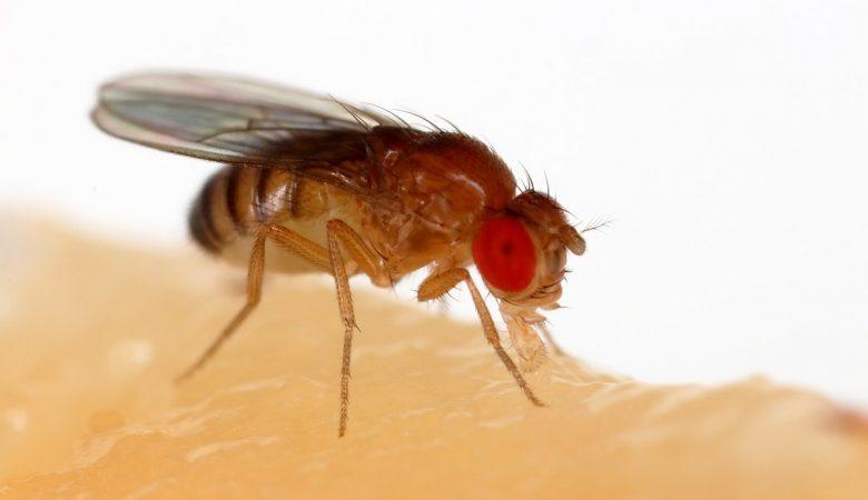 How to get rid of fruit flies